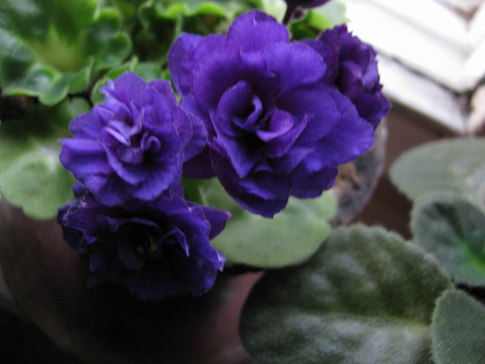 Махровая синева